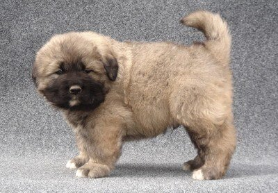 The Caucasian Mountain Dog For Sale