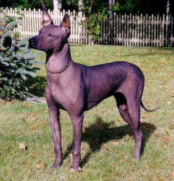 The Naked Truth About Hairless Dog Breeds!Xoloitzcuintle Con Pelo
