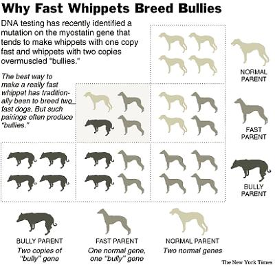 The Bully Whippet The Worlds Worst Genetic Mutation In A Dog