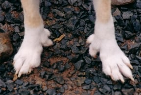 Feet of a Lundehund