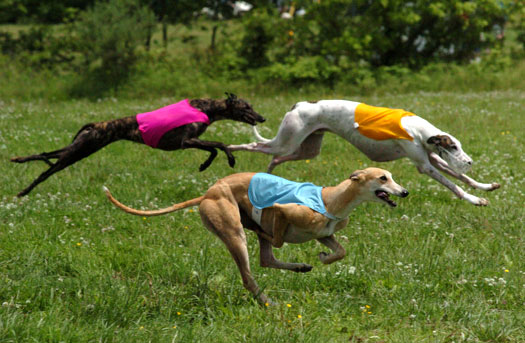 Greyhound Speedsters