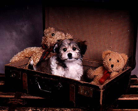 Havanese Puppies for sale at Euro Puppy