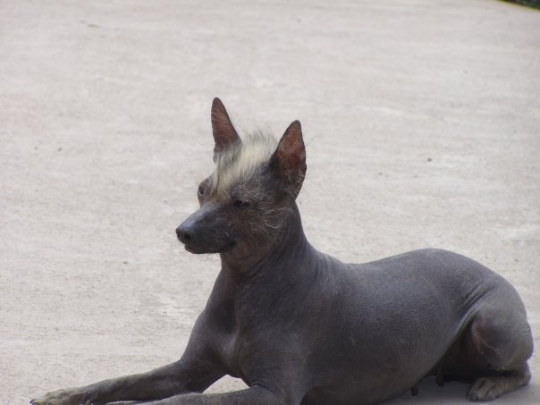 The Naked Truth About Hairless Dog Breeds