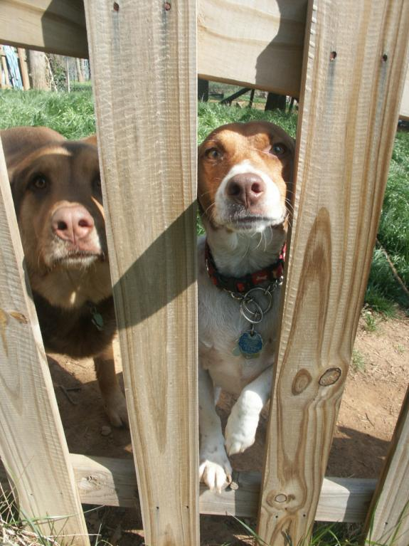 Dogs over the fence