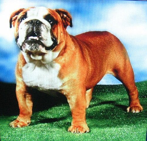 Miniature English Bulldog