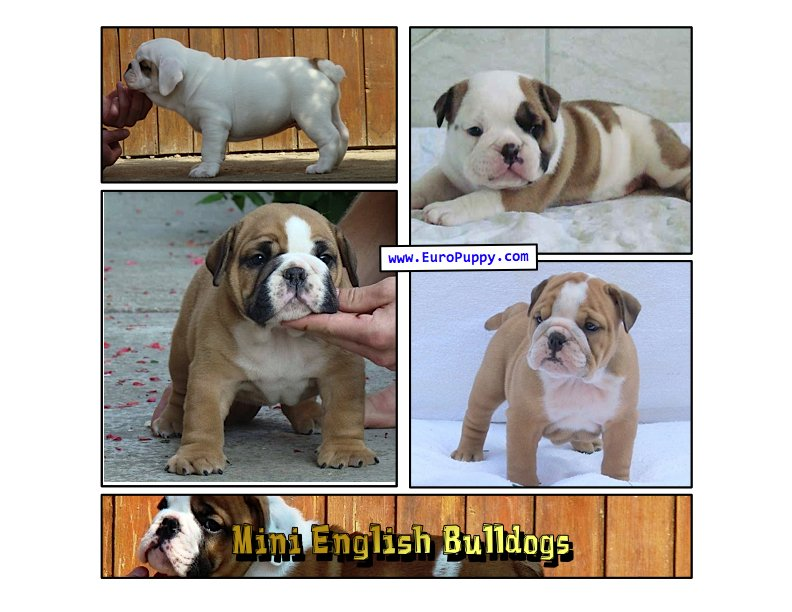 Miniature Bulldog or Mini English Bulldog?