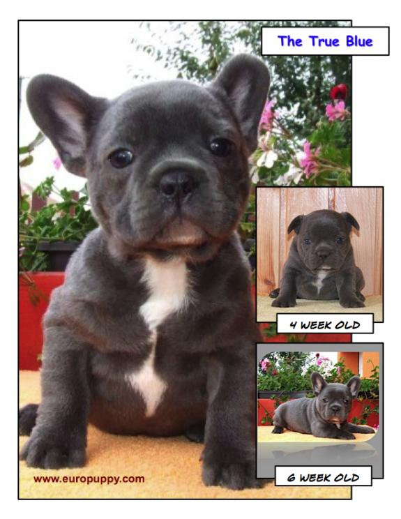 Blue French Bulldog