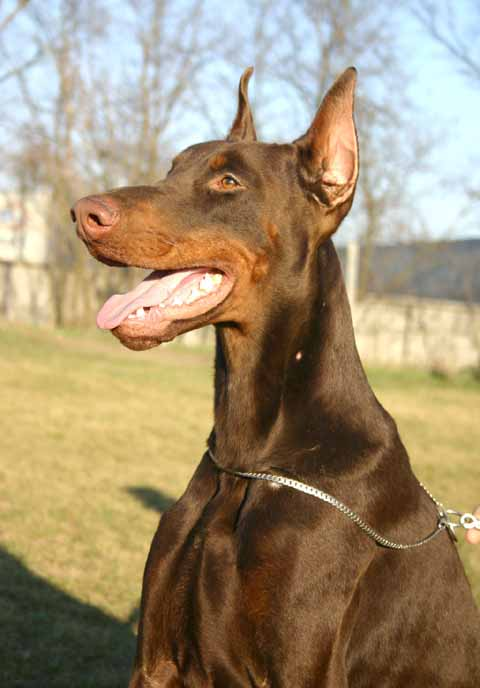 Doberman Ear Cropping