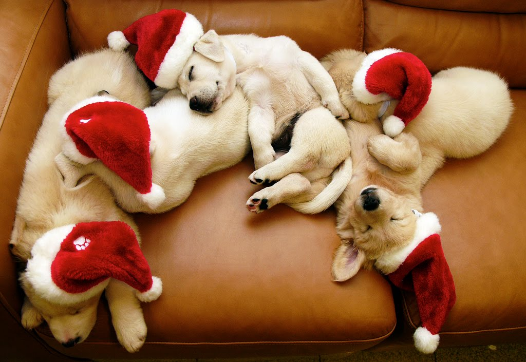 Christmass puppies
