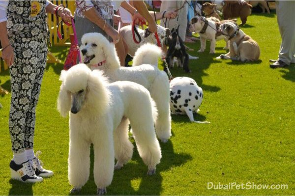 dubai dog show