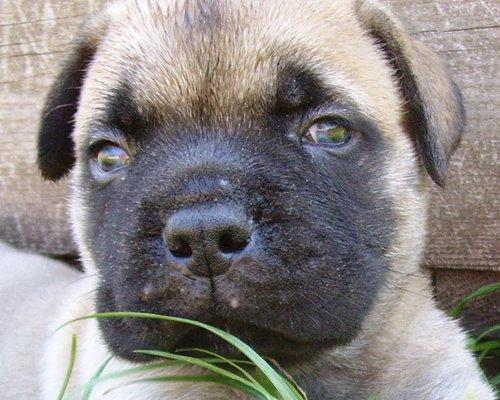 bullmastiff puppy image