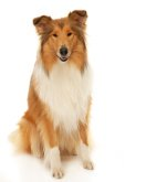 Collie image