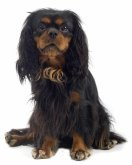 English Toy Spaniel image