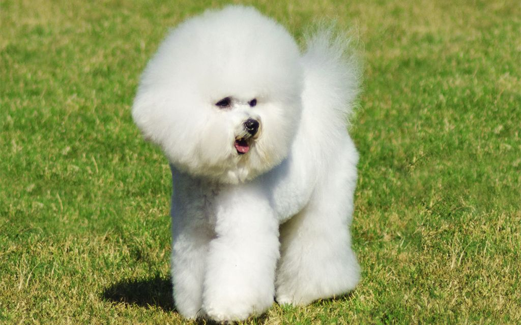 Bichon Frise Puppies Breed information & Puppies for Sale