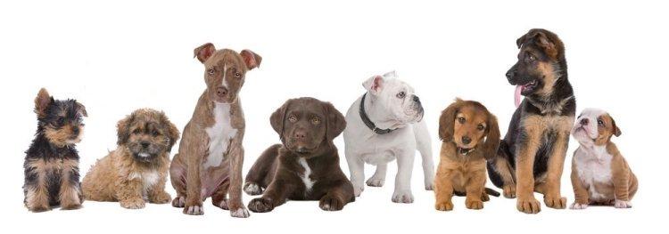 dog breeds Euro Puppy