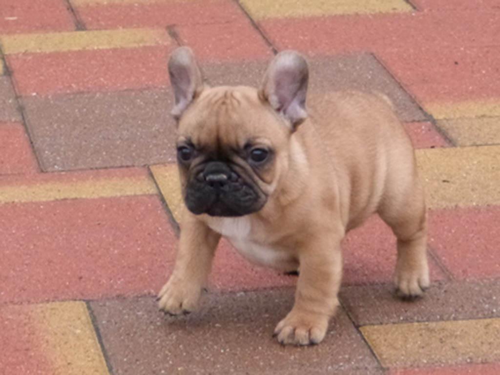 French Bulldog choosing