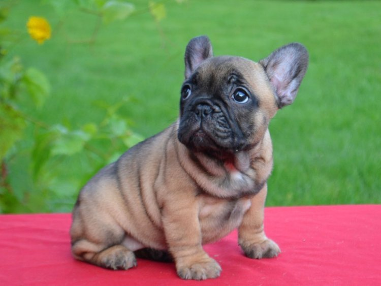 Choose French Bulldog