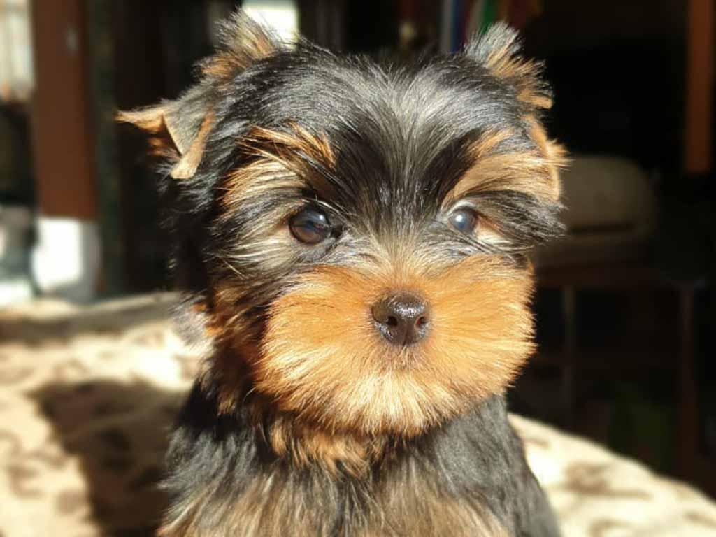 Yorkshire Terrier little breed