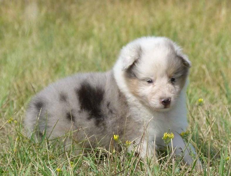 Collie family dog