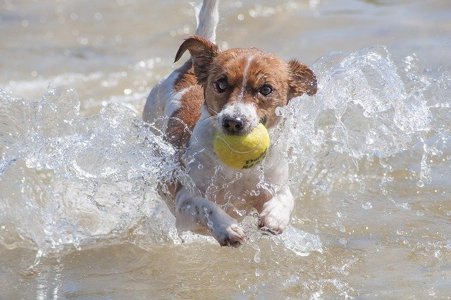 jACK rUSSELL tERRIER ACTIVE