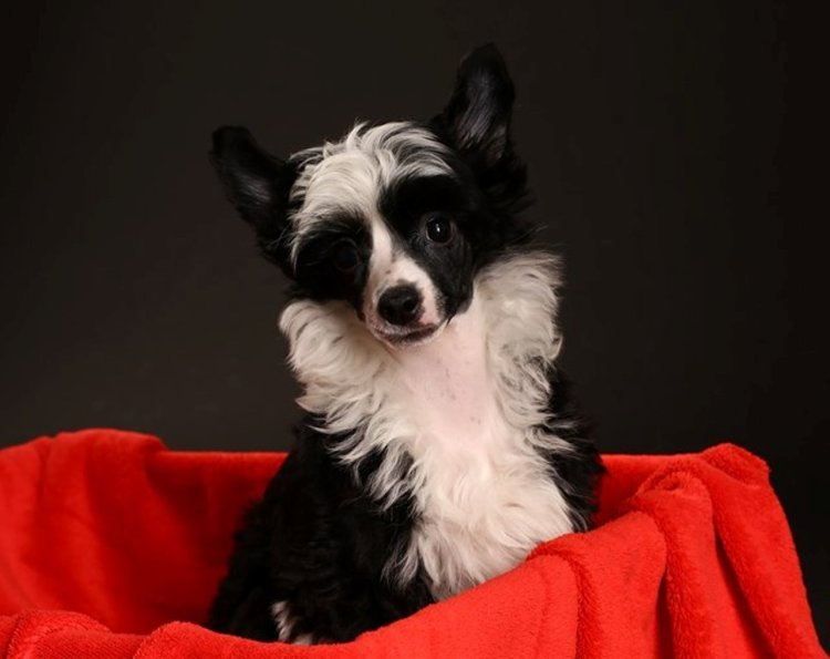 Chinese Crested cat friendly
