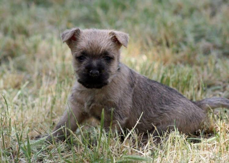 Cairn Terrier Gulf climate