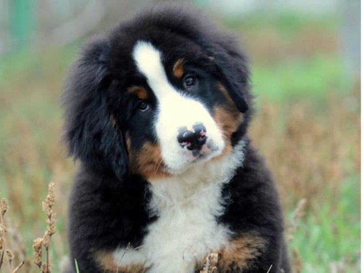 bernese mountain dog kids