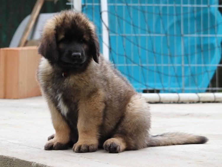 Leonberger family dog