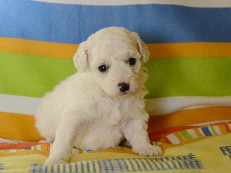 Poodle family dog