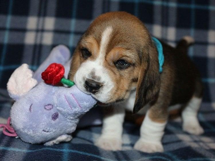 4 - 6 weeks old Beagle