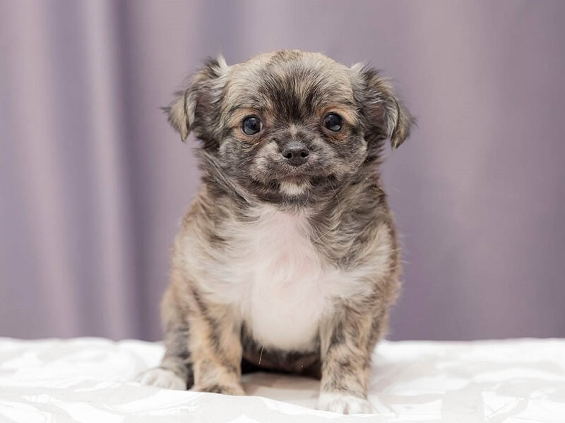 Chihuahua Senior