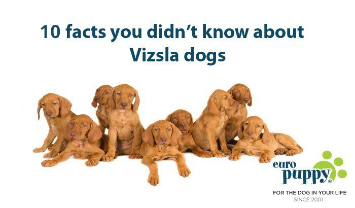 10 facts you didn't know about Vizsla dogs