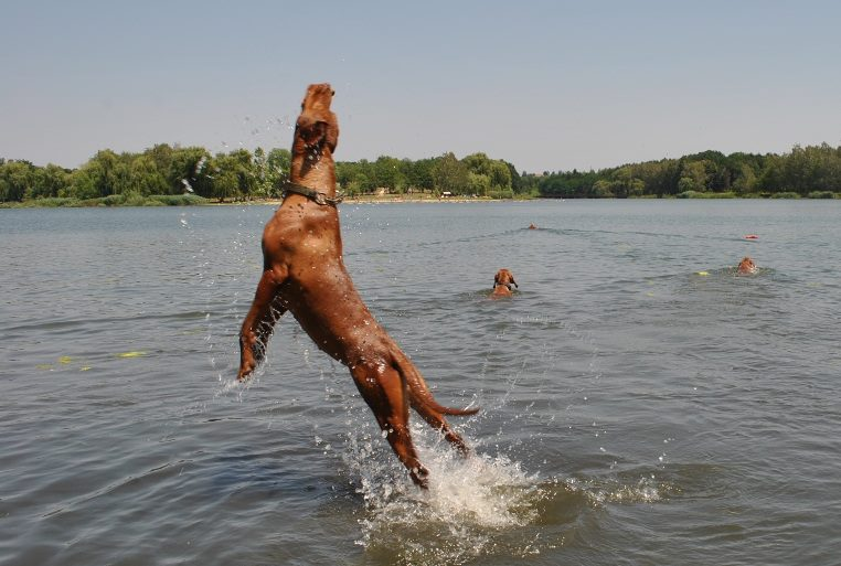 A bouncy Vizsla
