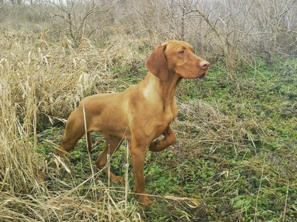 Vizsla carefully looking around