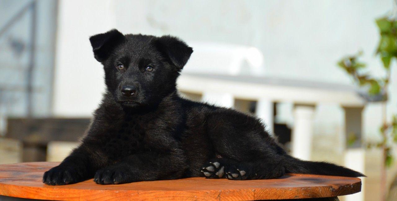 German Shepherd Dog cold weather