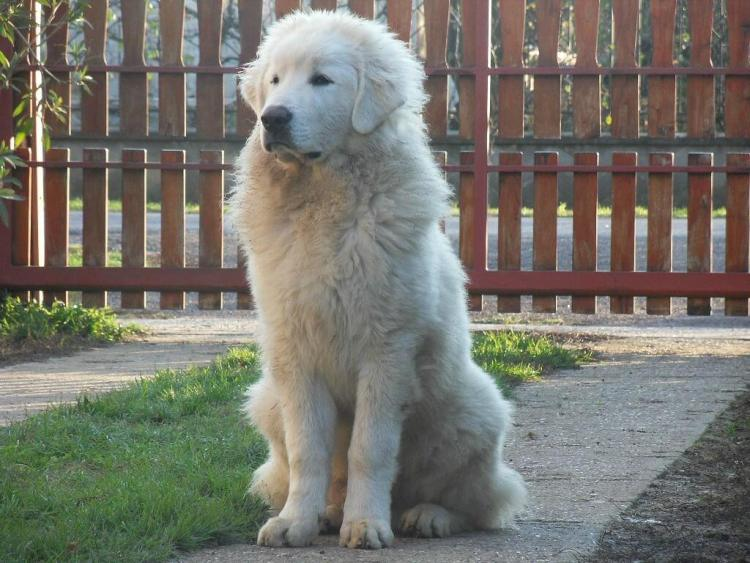 Great Pyrenees cold climate