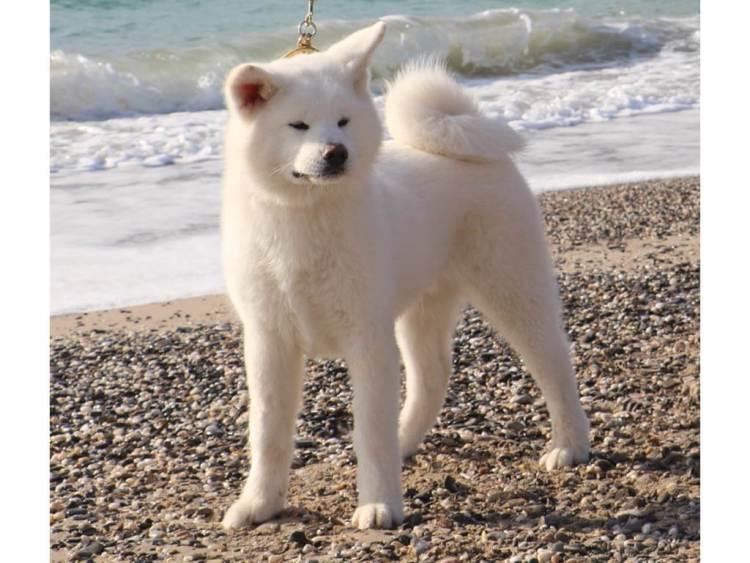 Akita Cold climate