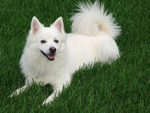 American Eskimo dog cold weather