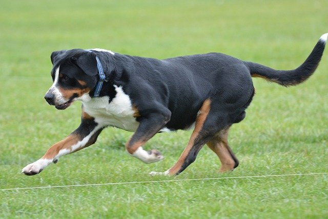 GREATER SWISS MOUNTAIN DOG COLD CLIMATE