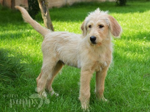 Labradoodle Breed Dog Breed Information Pictures