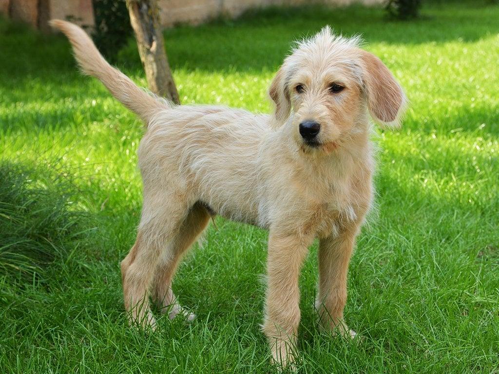 informaci243n de perros de la raza labradoodle amp perros en venta