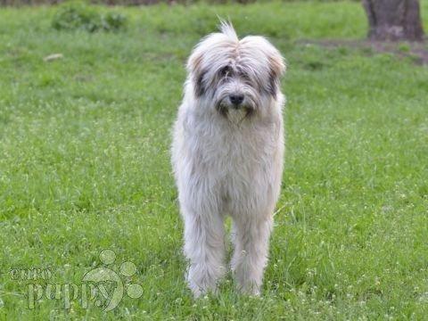 romanian-mioritic-shepherd-2