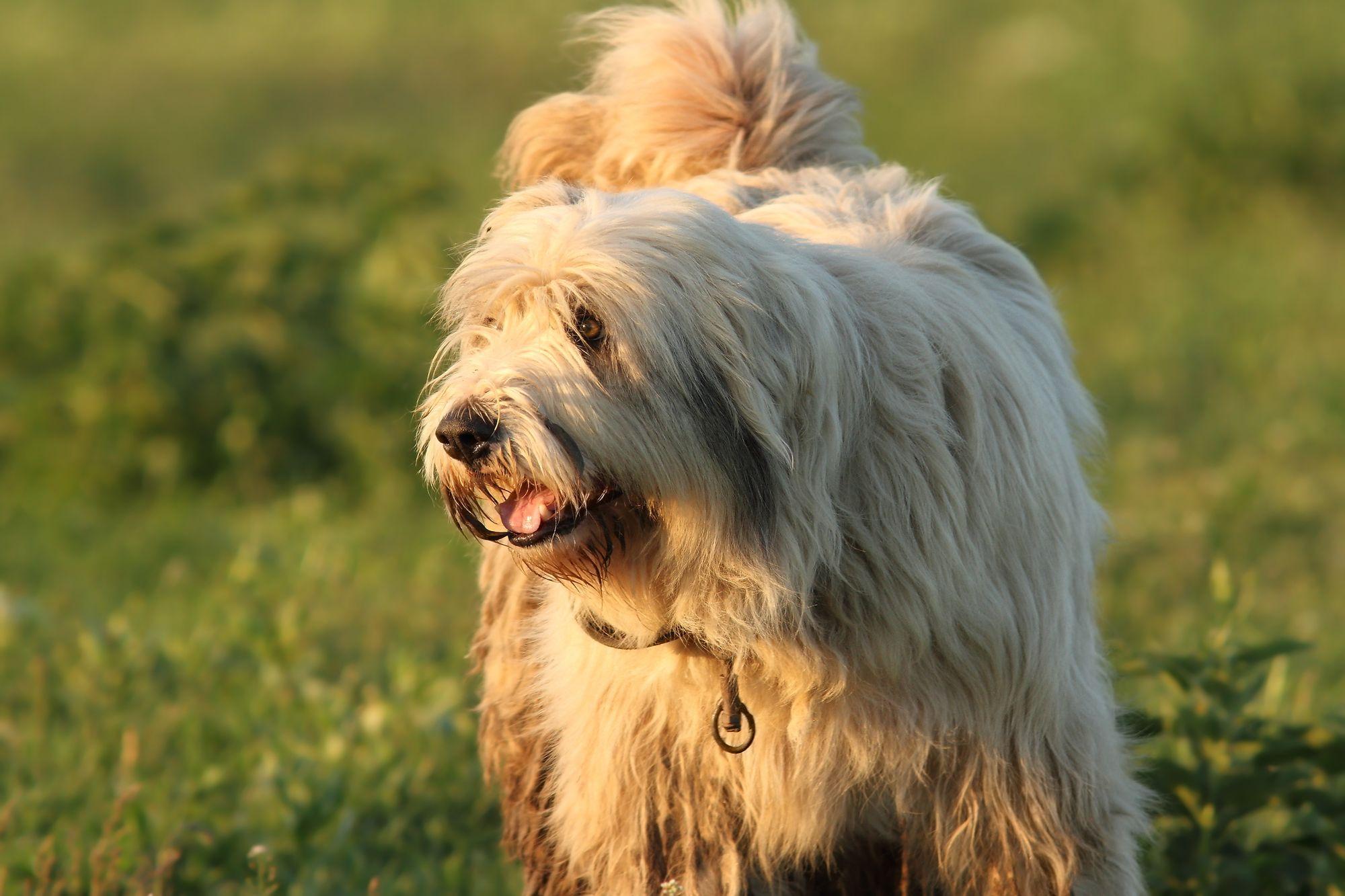 Romanian Mioritic Shepherd Puppies Breed Information