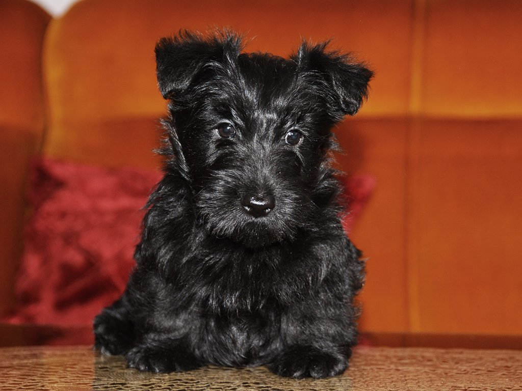 Scottish Terrier Puppies Breed information & Puppies for Sale
