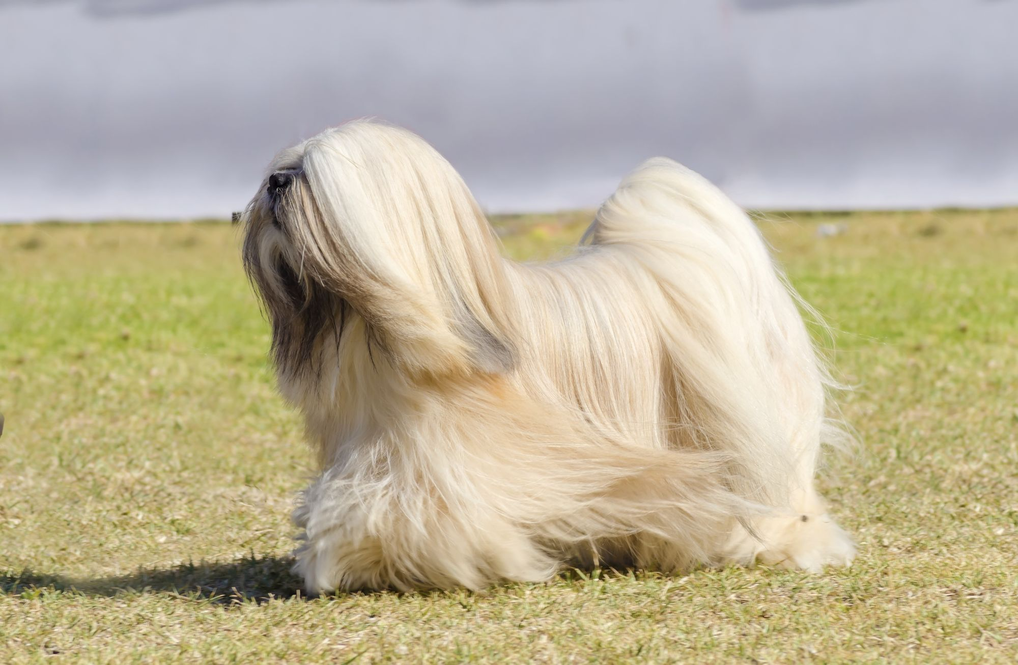 Tibetan Terrier Puppies Breed