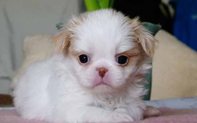 japanese spaniel white with fawn marking puppy image