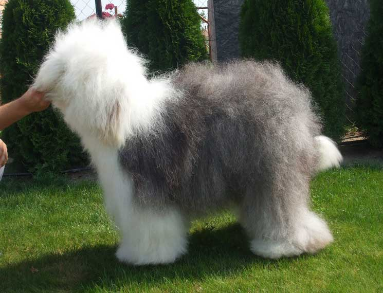 Old English Sheepdog Puppies Breed information & Puppies for