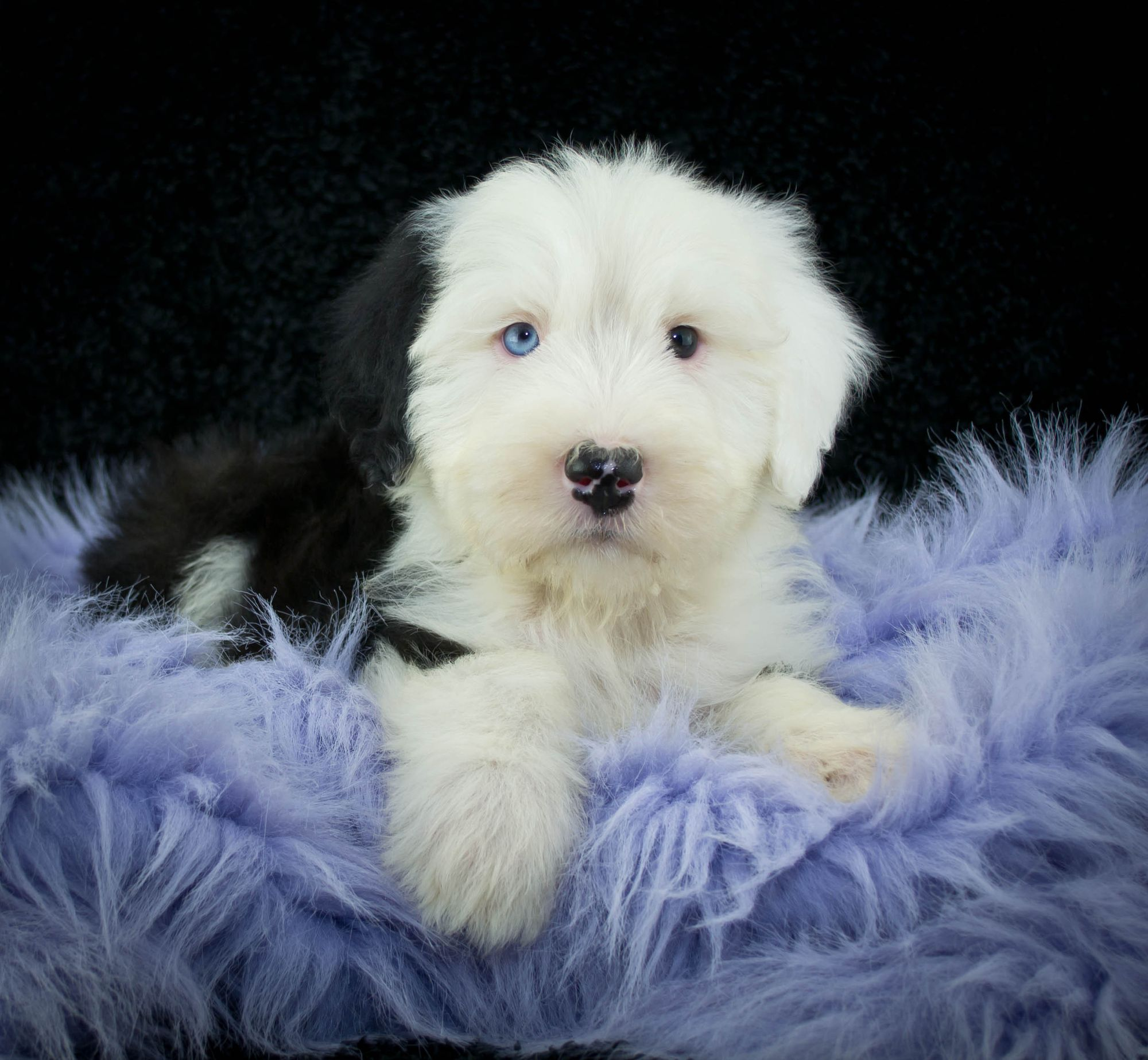 Old English Sheepdog Puppies Breed Information Amp Puppies