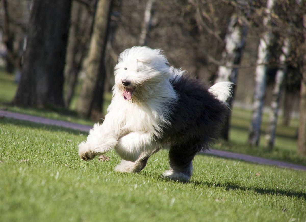 Información de Perros de la Raza Old English Sheepdog