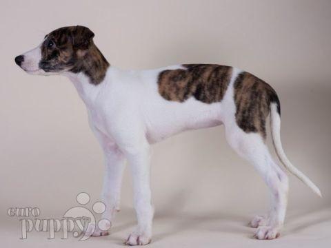 hungarian-greyhound